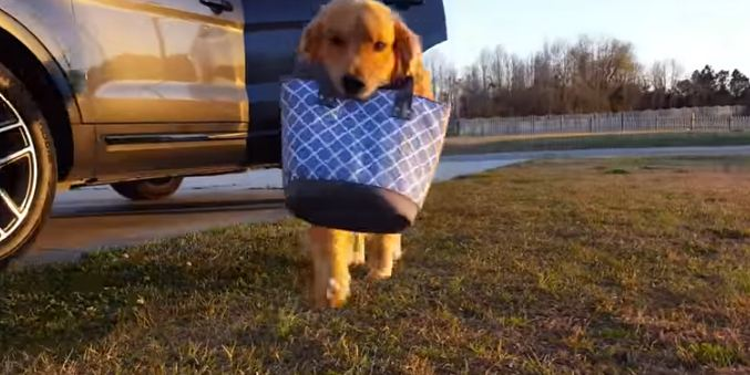 doggy carrying purse