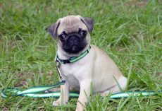Some of the Most Frequently Asked Questions About Pugs