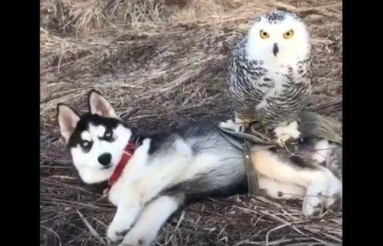 husky and owl