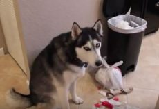 (Video) Naughty Husky is in Denial as to What He Just Did and We Can't Help But Chuckle
