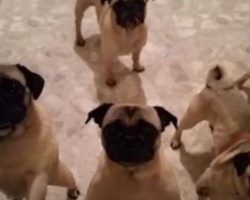 (Video) It's Time for 5 Pugs to Go to Bed. Their Bedtime Ritual? Keep an Eye on Their Faces… LOL!