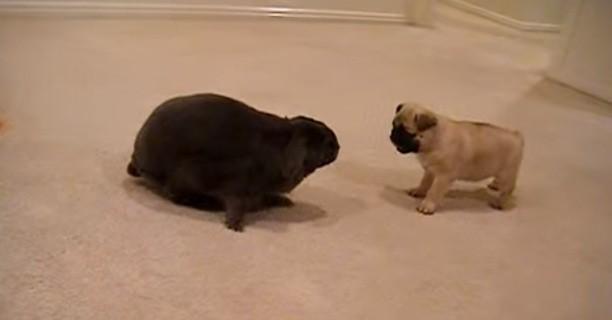 Pug_and_Rabbit