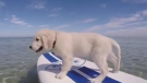 (Video) Golden Retriever Puppy Tries His Paw at Paddleboarding – So Cute!