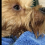 (Video) Dog Mom Sings Her Yorkie to Sleep After a Nice Bath and We're Melting!