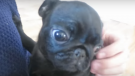 (Video) This Couple's First Moments Spent With Their Baby Pug Are Sooo Precious! Aww!