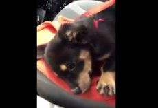 (Video) Itty Bitty Dachshund Puppy Has a Meltdown and Steals Our Hearts in the Process