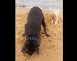 (Video) Dog is Having Fun Digging Sand on the Beach. Now Keep Eyes on the Puppy Behind Him.