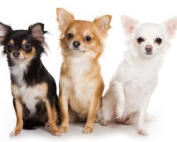 The 10 Smallest Dogs in the World Are Surprising to Say the Least! #10 is a Breed I Didn't Know About!