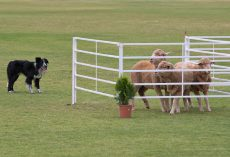 Believe it or Not, But These 4 Dogs May Herd Sheep Even Better Than Shepherds