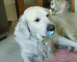(Video) Golden Retriever Refuses to Give up Pacifier, Has Giant Meltdown in the Process