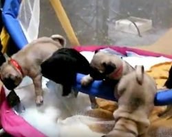 (Video) Excited Pug Puppies Racing to See Their Mom is too Cute for Words