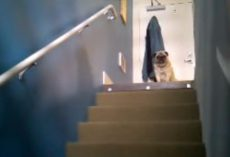 (Video) Lonely Pug Desperately Calls Out… What Happens Next Shocks Us!