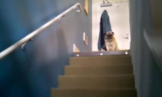 pugs-on-top-of-the-stairs