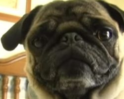 (Video) This Pug Really Knows How to Rap to 'Ice Ice Baby' and I Can't Stop Laughing!