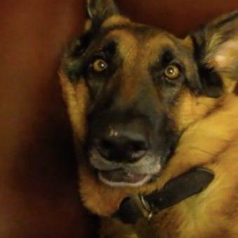 (Video) This German Shepherd Has the Best Sleepy Dog Face EVER