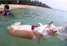 (Video) Cute Corgi Relaxes With a Float in the Ocean