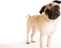 Everything There is to Know About a Dog's Anal Glands