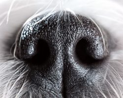Why a Dog's Nose is Wet and Cold