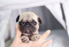 These Adorable (and Extra Small) Puppies Come With a Hefty Pricetag