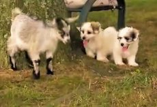 (Video) When a Goat Stares Down a Puppy, I Never Expected the Puppy to Respond Like This