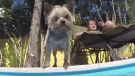 (Video) Swimming Yorkie Has a Blast in the Pool and We Love Watching Him