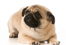 6 Common Pug Genetic Issues That Owners Should Educate Themselves About Right Away