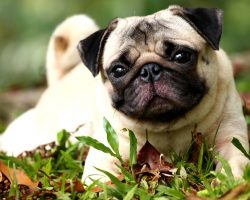 Why the British Veterinary Association is Warning Dog Owners to Stop Buying Pugs and Bulldogs
