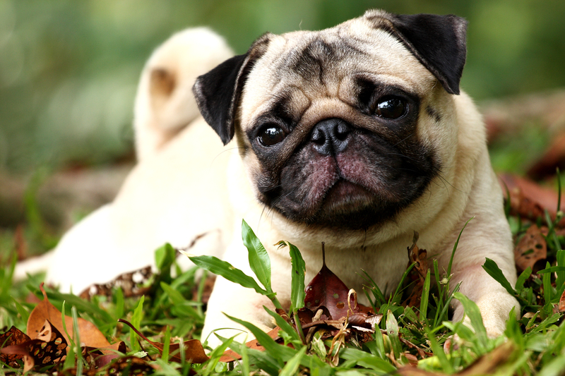 cute pug on the grass