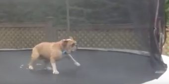 (Video) Mudd the English Bulldog is Absolutely in LOVE With His Trampoline