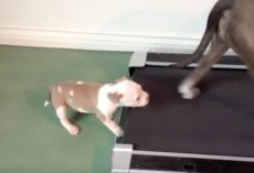 (Video) Adorable Puppy Gives it His ALL in Hopes of Conquering the Treadmill