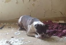 (Video) Rescuers Put Their Lives in Danger to Save Puppies From a Crumbling, Old Abandoned Building.