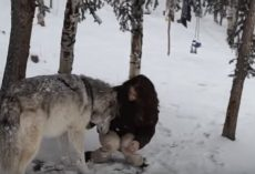 (Video) Alone in the Forest She Sees a Huge Wolf, Then She Looks Into His Eyes and Gets Close to His Face