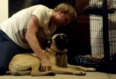 (Video) Owner Tells Bull Mastiff to Go to Bed, Dog's Defiance Has Us Rolling With Laughter