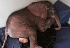 Baby Elephant Abandoned by His Herd and is Very Sad Until He Meets the Most Unlikely Friend