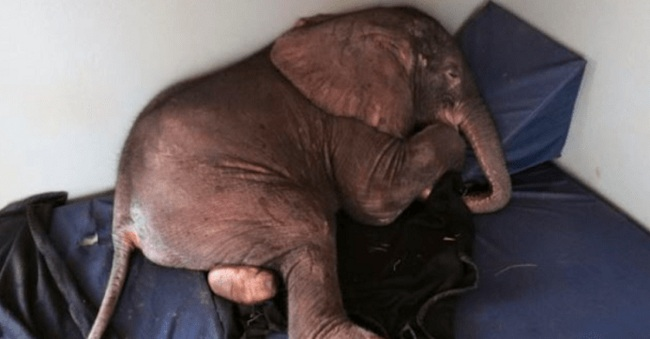 baby-elephant-abandoned-herd-depressed-meets-unlikely-friend