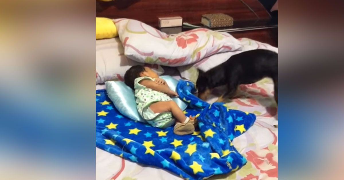 dog covers up baby
