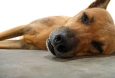 How to Help a Dog Whom an Owner Suspects Has Hypothyroidism