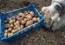 Finding Out Whether a Dog Can Safely Eat Potatoes