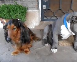 (Video) Owner Confronts Dogs About Eating Shoe – Their Guilty Response is a Riot