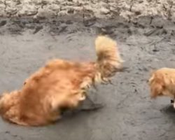 (Video) Golden Retriever Disobeys Orders From Mom and Instead Dives Headfirst into a Giant Mud Puddle