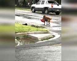 Mom Steps Outside to Check Hurricane Harvey Damage, Then Sees a Dog Carrying Large Bag Of Food
