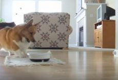 "(Video) Corgi Loves His Mealtime, Now Witness His ""Happy Dance"" That Has Everyone Grinning From Ear to Ear"