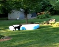 (Video) Labrador Steals an Inflatable Pool From His Humans and it's a Riot