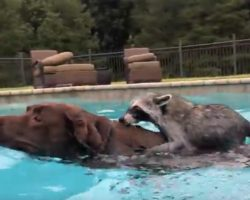 (Video) Rescued Raccoon Dives Into Pool, Then Chocolate Lab Sister Joins Him So He Can Hop on Her for a Ride